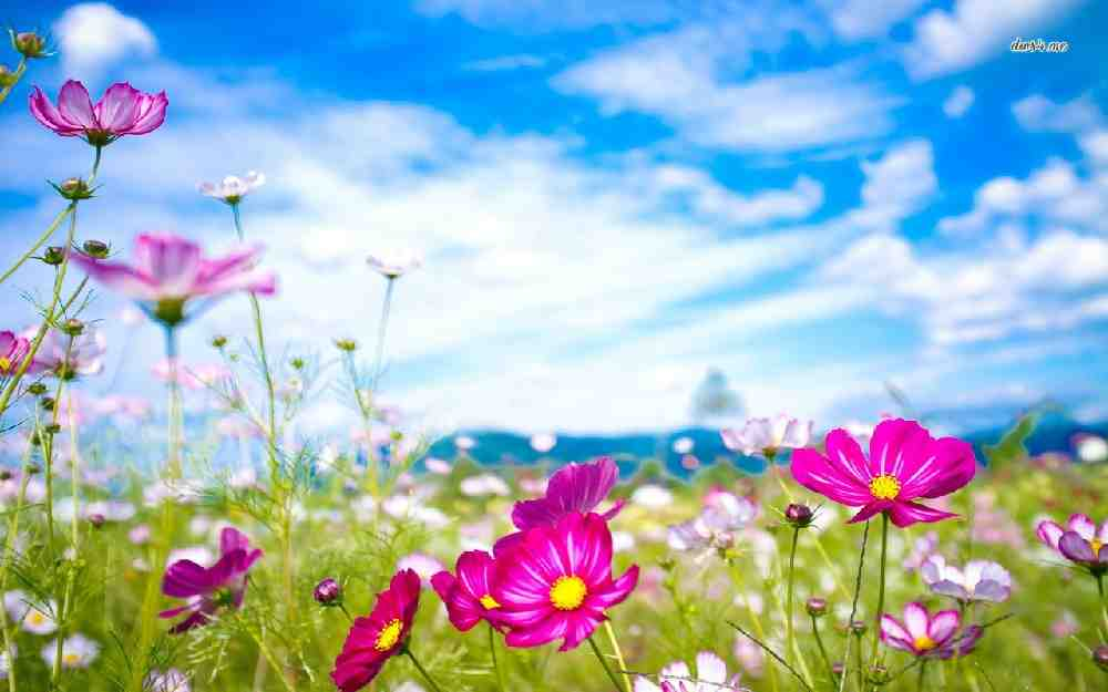 21568-colorful-cosmos-flowers-1280×800-flower-wallpaper